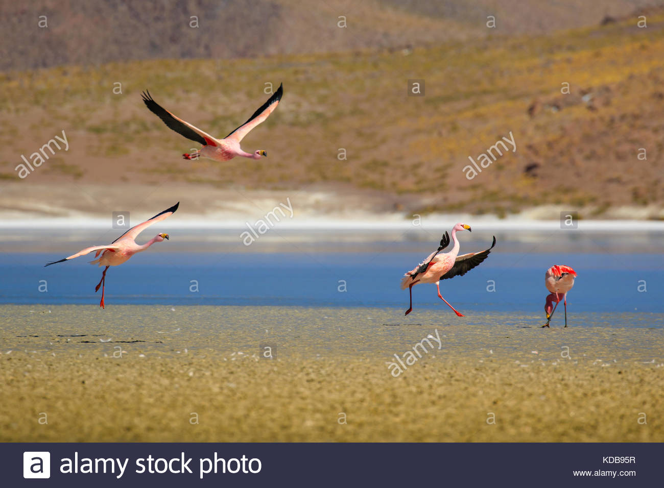 A group of flamingos, Phoenicopterus, landing on an Andean lake in the Bolivian Altiplano. - Stock Image