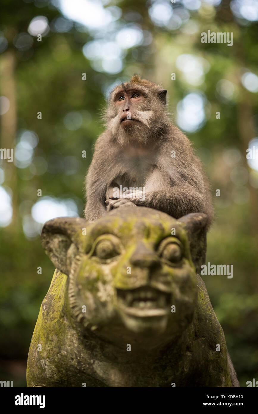 Long-tailed macaque, Sangeh Monkey Forest, Ubud, Bali, Indonesia - Stock Image