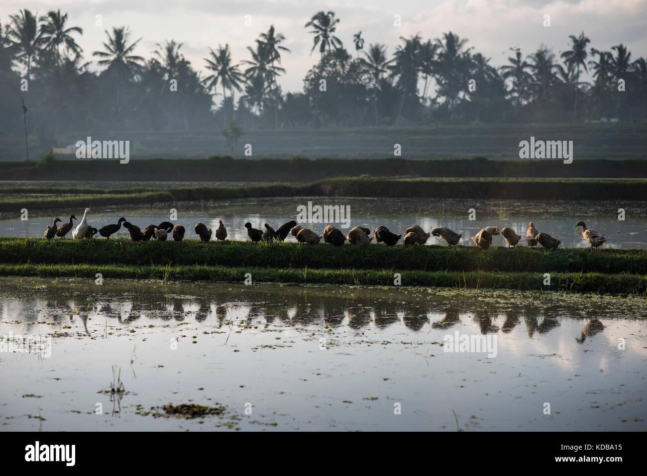 Row of ducks in a rice field of Ubud, Bali, Indonesia. - Stock Image