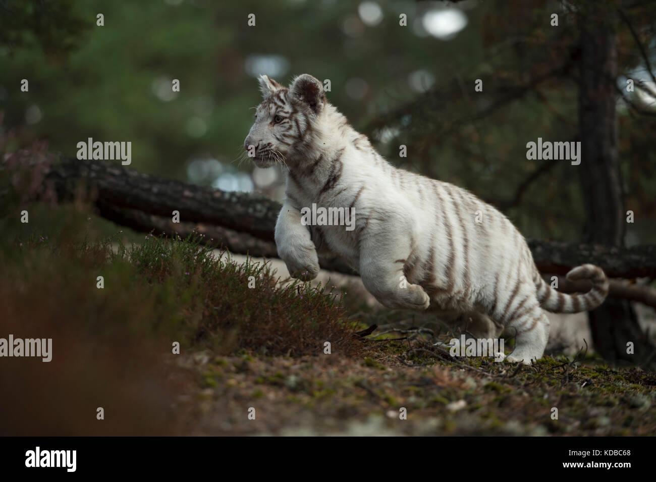 Royal Bengal Tiger / Koenigstiger ( Panthera tigris ), white morph, jumping through the scrub of a natural forest, - Stock Image