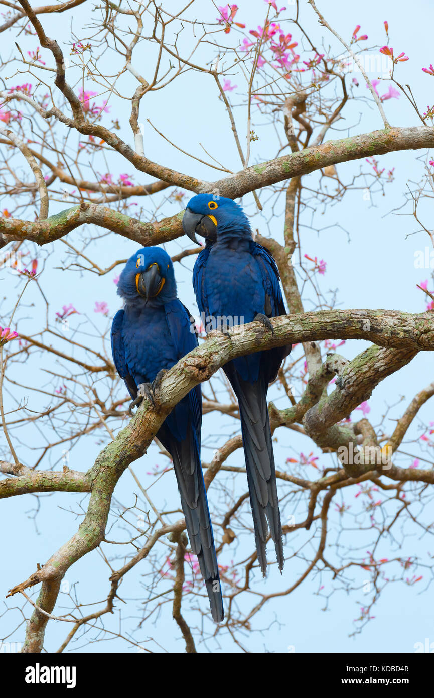 Two Hyacinth Macaws (Anodorhynchus hyacinthinus) in a Pink Ipe Tree, Pantanal, Mato Grosso, Brazil - Stock Image