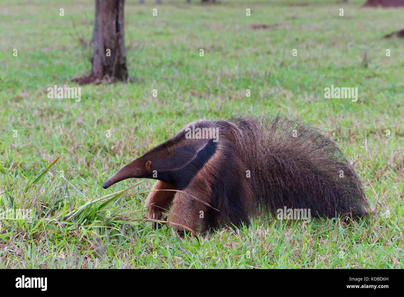 Giant Anteater (Myrmecophaga tridactyla), Mato Grosso, Brazil - Stock Image
