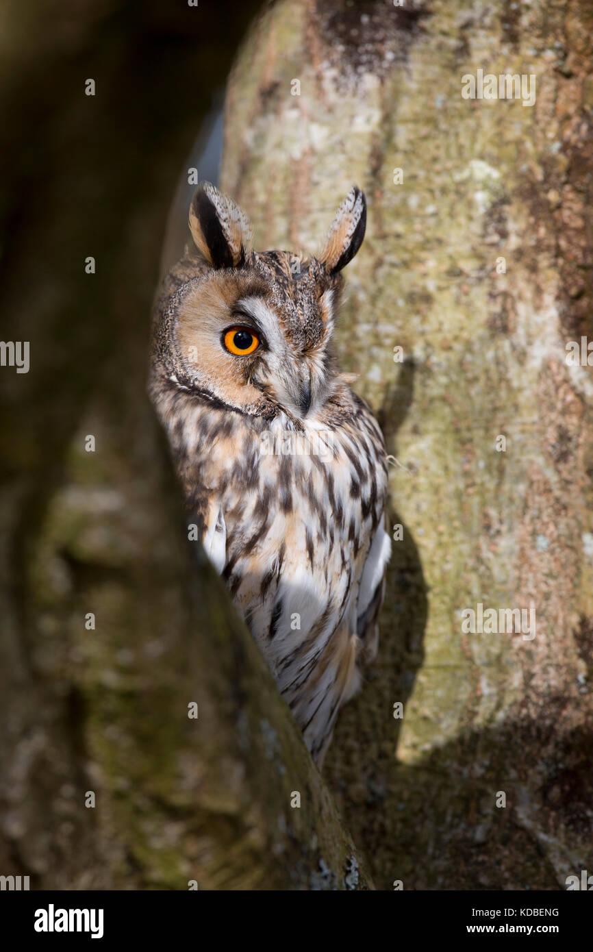 Long Eared Owl; Asio otus Single in Tree UK - Stock Image