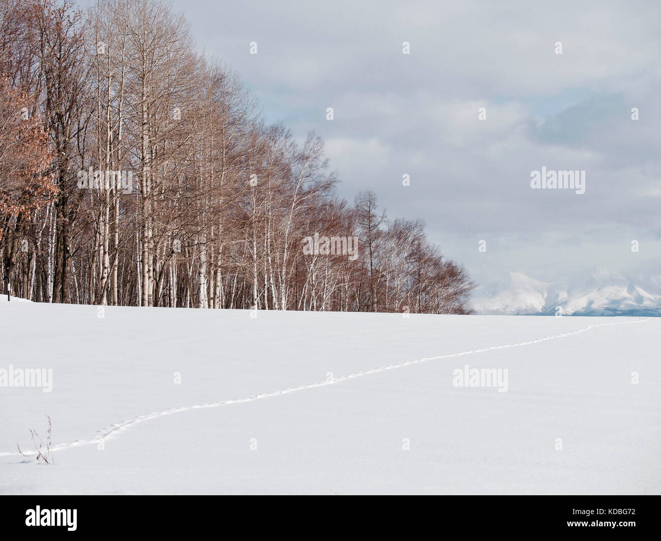 Trees and Snowfield at Biei, Hokkaido, Japan, during winter with mountain in background - Stock Image