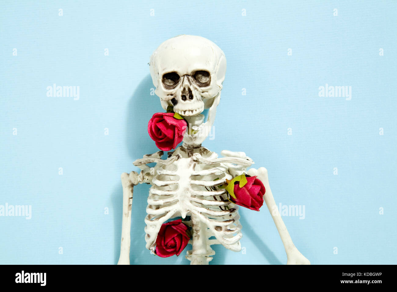 Isolated plastic toy skeleton with red roses between bones on a vibrant pop blue turquoise background. Minimal color Stock Photo
