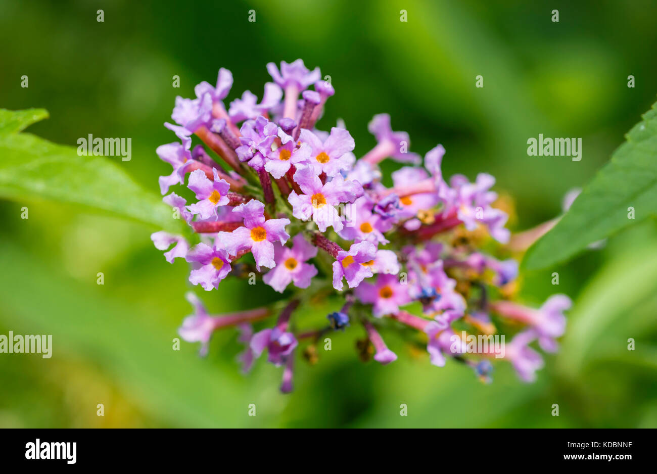 Closeup of a purple or pink Buddleia bush in Summer in the UK. - Stock Image