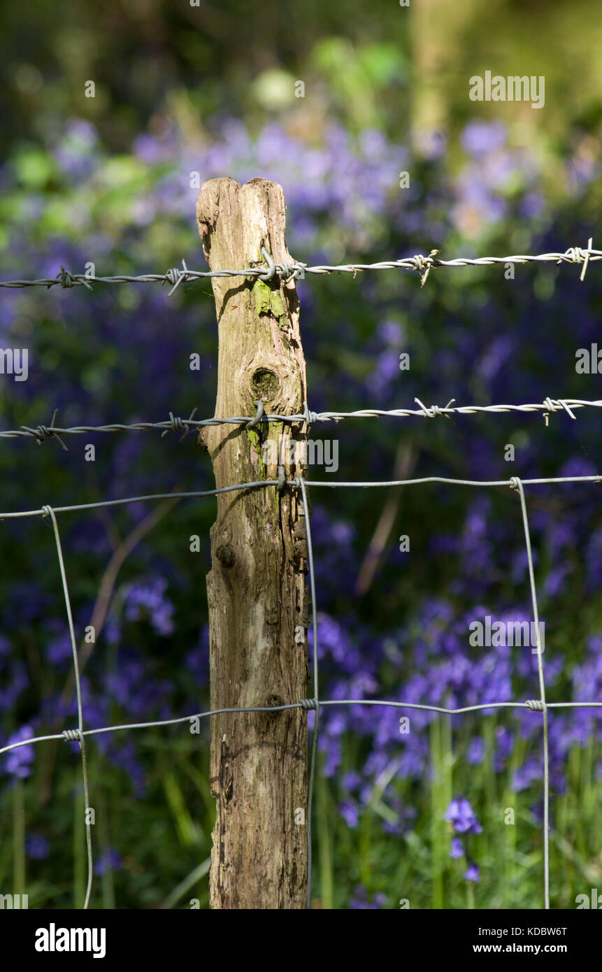 Barbed wire fence with bluebells, West Sussex, UK. - Stock Image