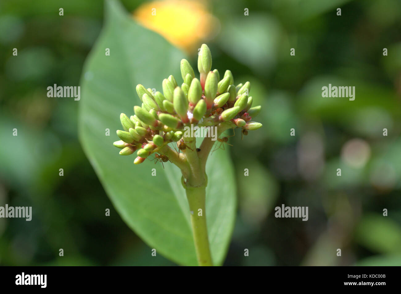 A small flower with some ants searching for food. - Stock Image