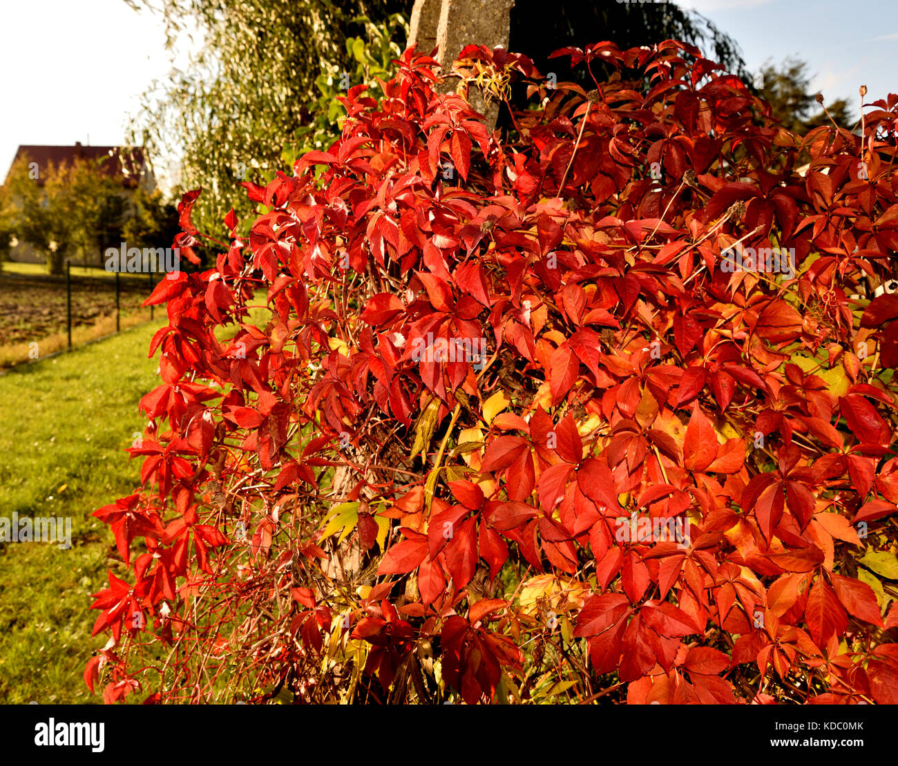 Virginia Creeper in Autumn Garden - Stock Image