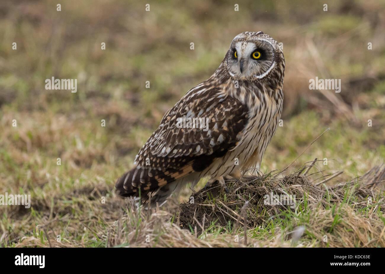 Short Eared Owl - Stock Image