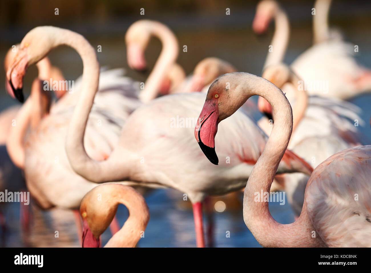 Closeup of greater Flamingo in between other flamingos - Stock Image