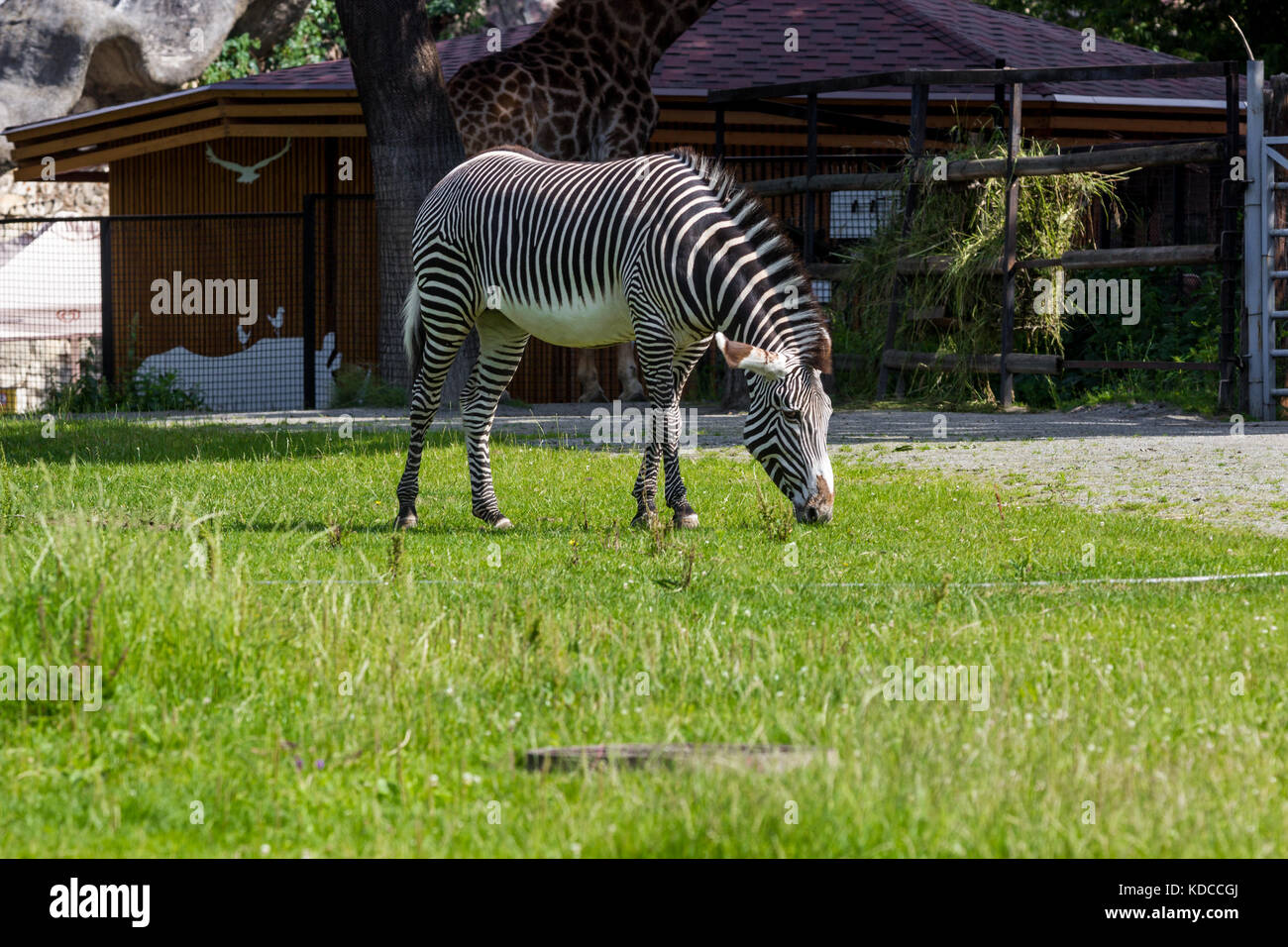 A female zebra grazes in the enclosure of the zoo, on a hot summer day - Stock Image