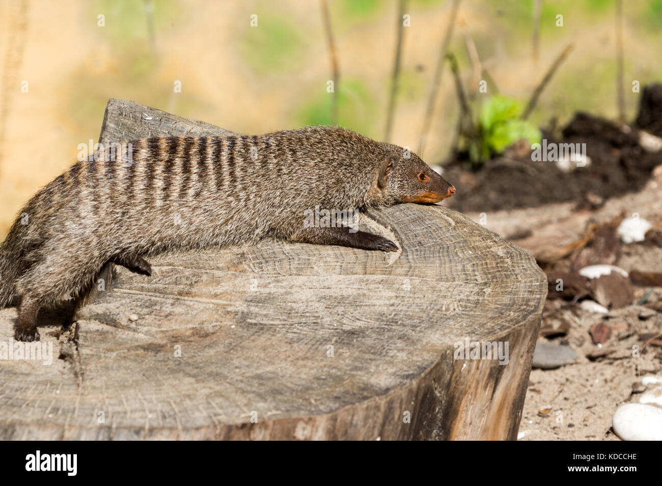 the striped mongoose rests on a stump after a night hunt in Ruaha National Park ,Iringa,Tansania - Stock Image