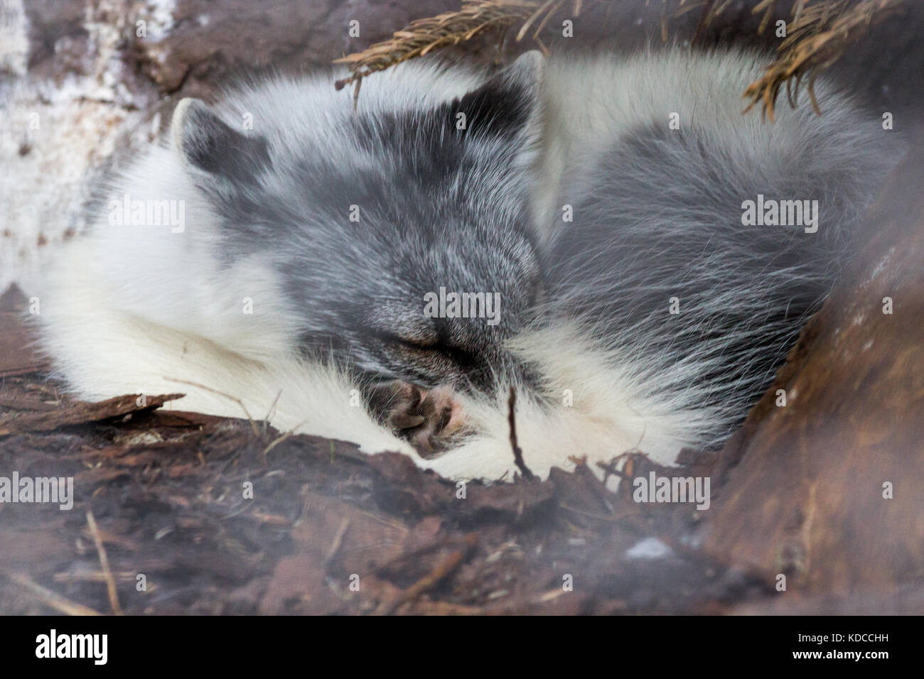 Artic Fox resting under tree at sunny summer day in Auyuittuq National Park Canada - Stock Image