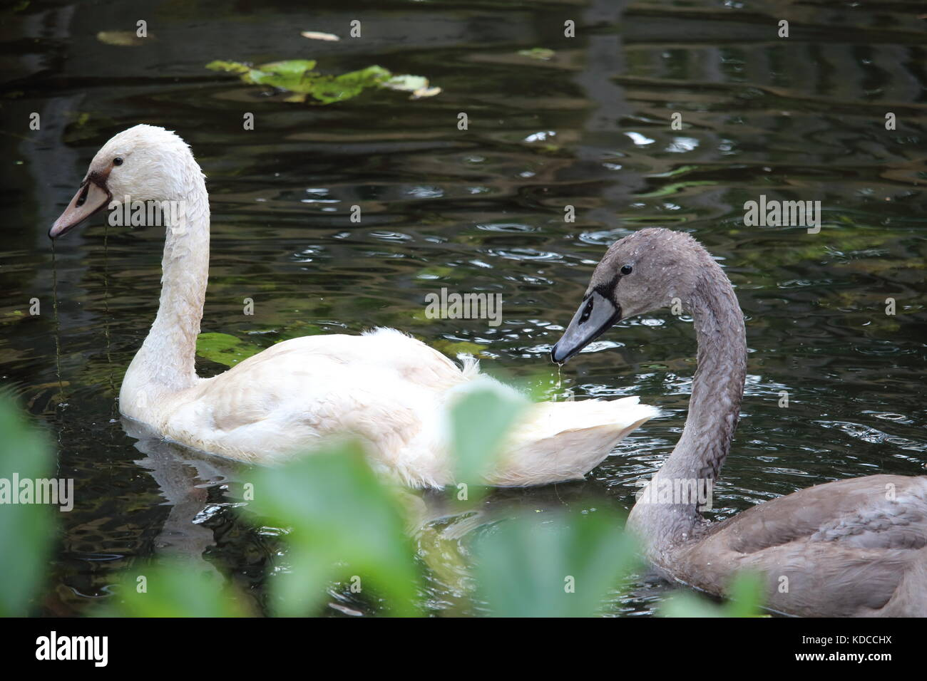 Two swans on a pond Stock Photo