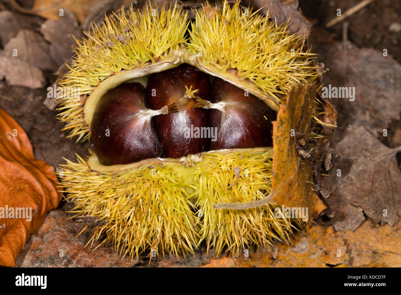 Freshly fallen spiny cupule of Castanea sativa case with three edible sweet chestnut nuts inside - Stock Image