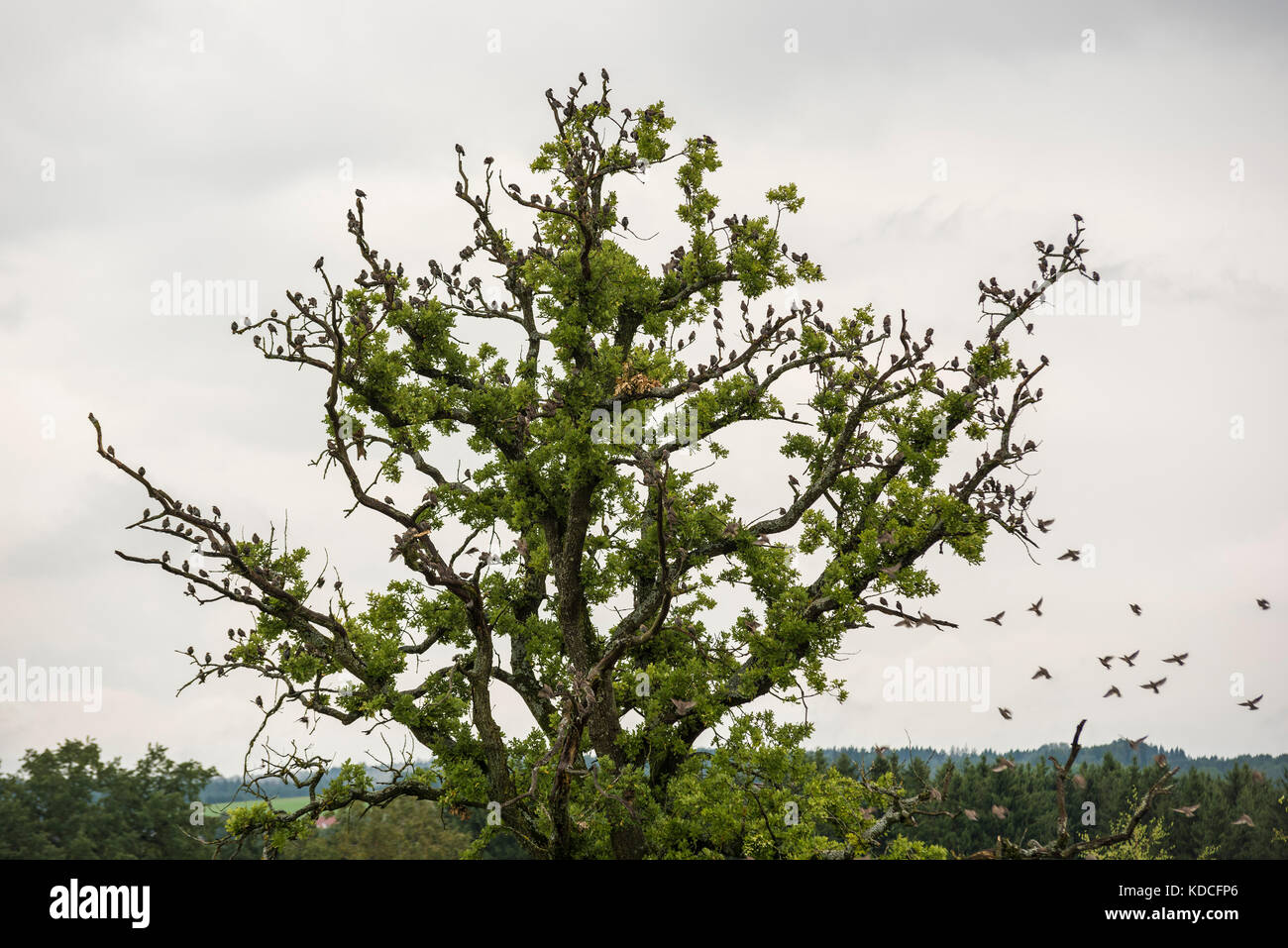 Flock of Starlings - Migrating Birds on tree - Stock Image