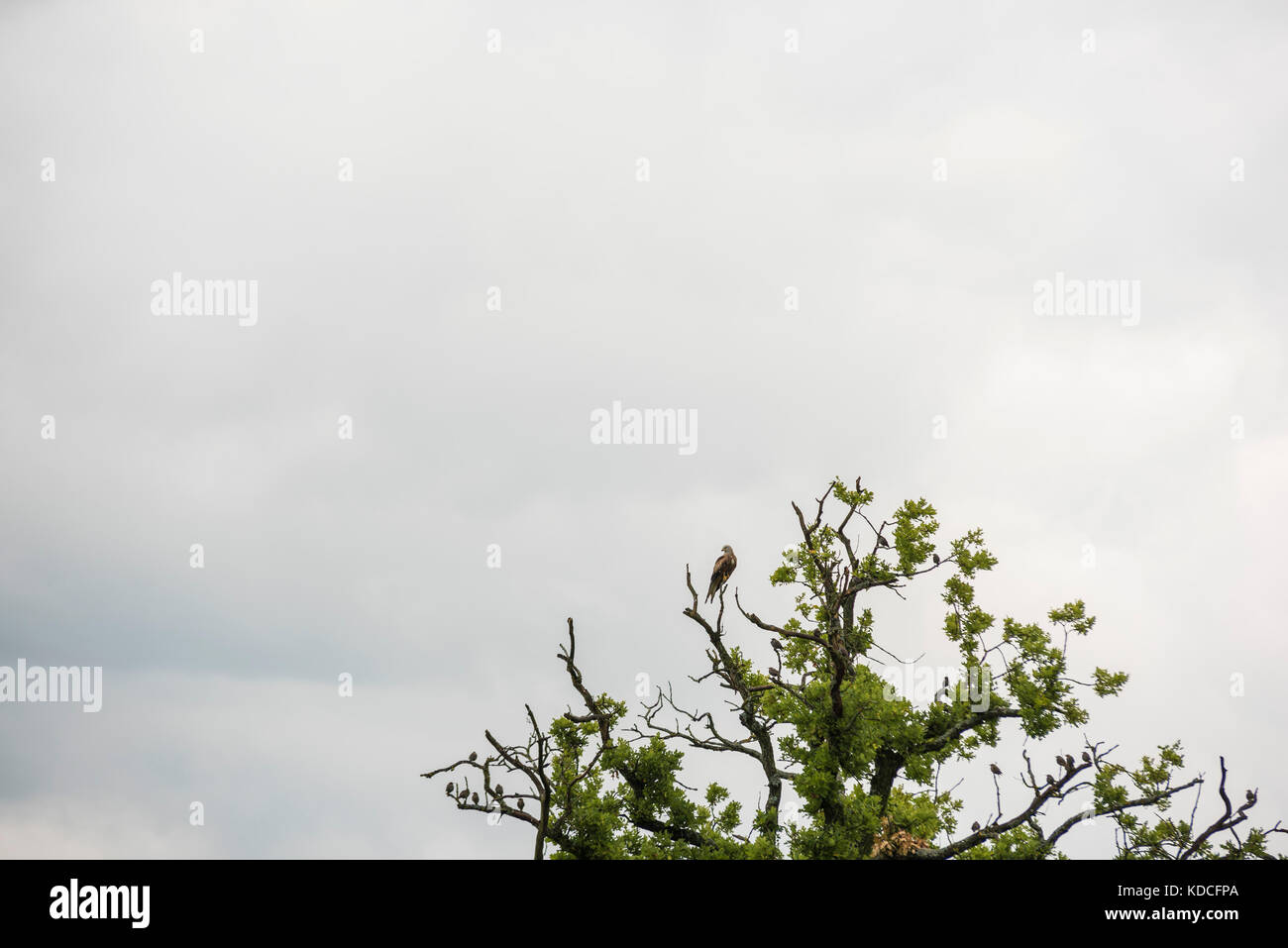 Flock of Starlings - Migrating Birds on tree Stock Photo