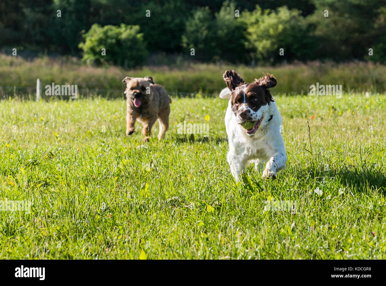 A Springer Spaniel and a Border Terrier chasing each other in a field, Springer Spaniel with a tennis ball in its Stock Photo
