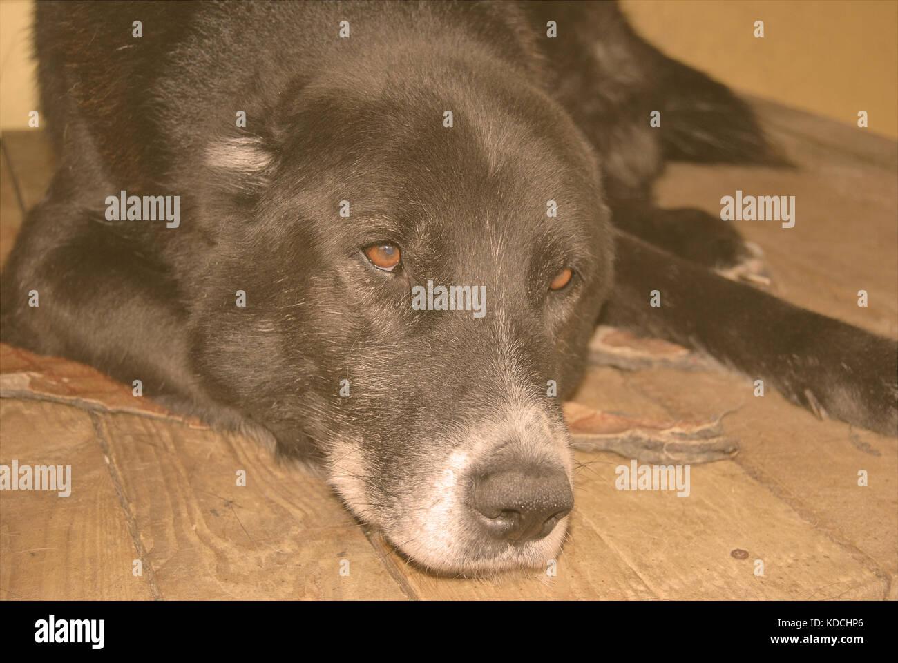 Central Asian Shepherd Dog Stock Photos & Central Asian Shepherd Dog ...