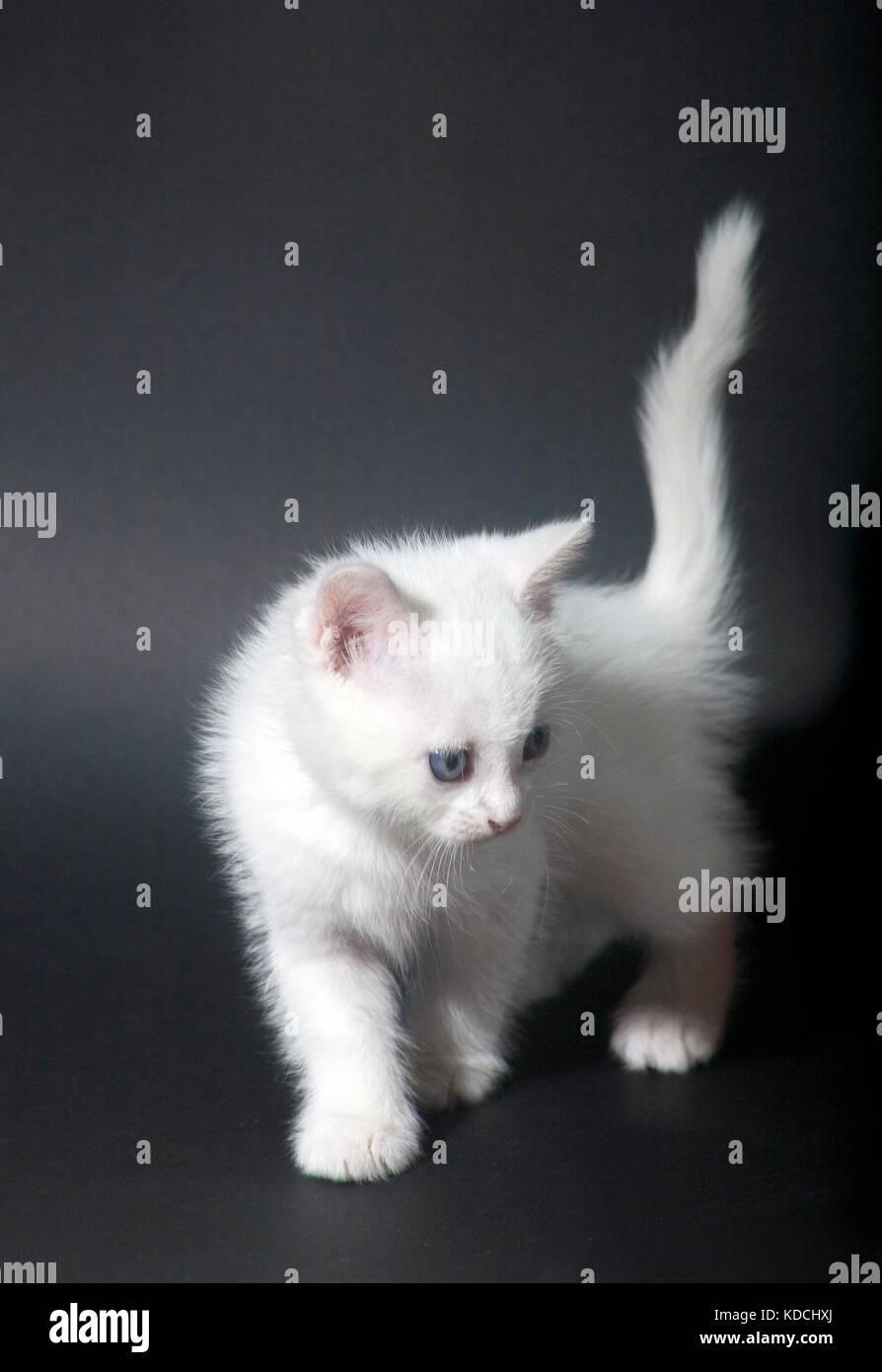 0f1fa1865c little beautiful white kitten with blue eyes Stock Photo  163161338 ...