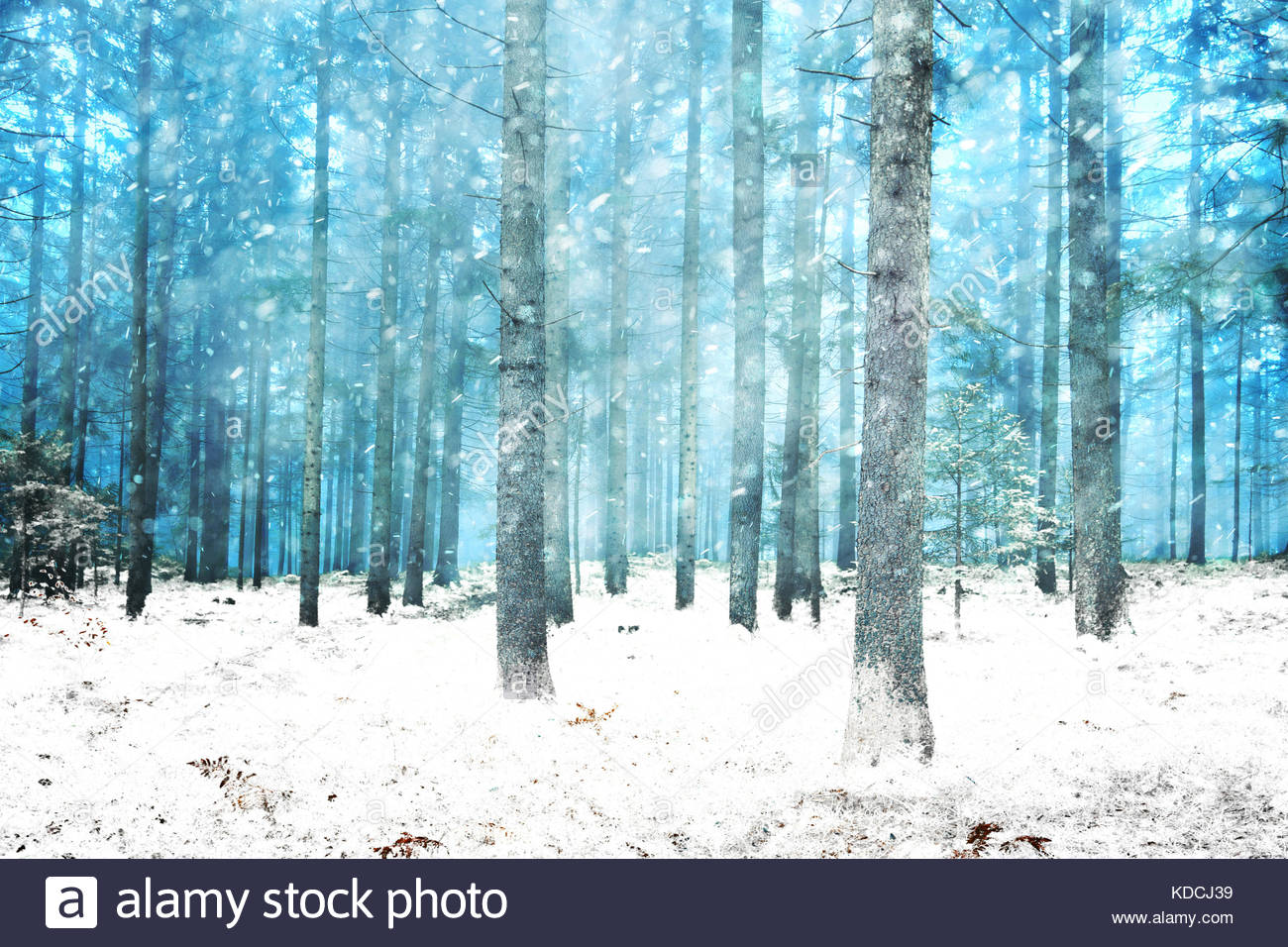 Beautiful snowy dreamy winter conifer forest. Color filter effect used. - Stock Image