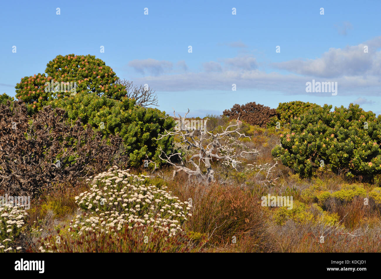 Fynbos Vegetation on the Cape Peninsula, near Cape Town, South Africa Stock Photo