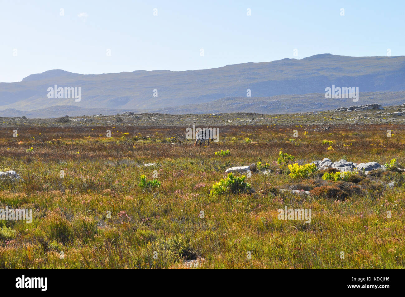 Fynbos Vegetation and wild zebra on the Cape Peninsula, near Cape Town, South Africa Stock Photo