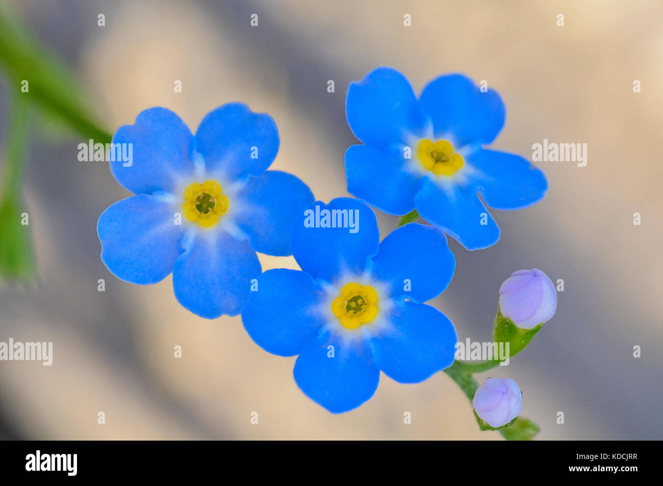 blue, forget me not wildflower, - Stock Image