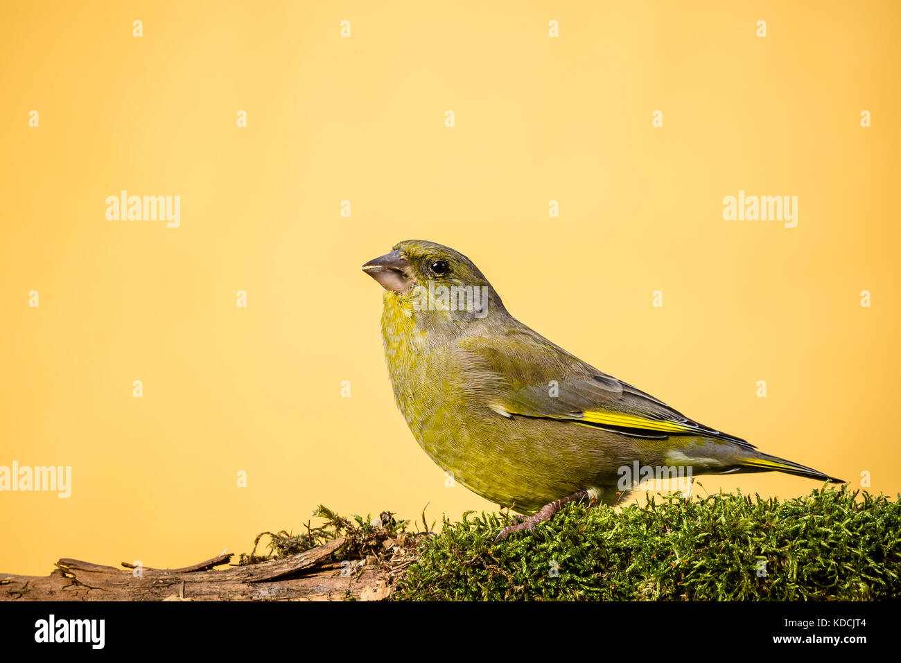 Horizontal photo of male greenfinch songbird. Bird with yellow, green and grey feathers. Animal is perched on dry - Stock Image