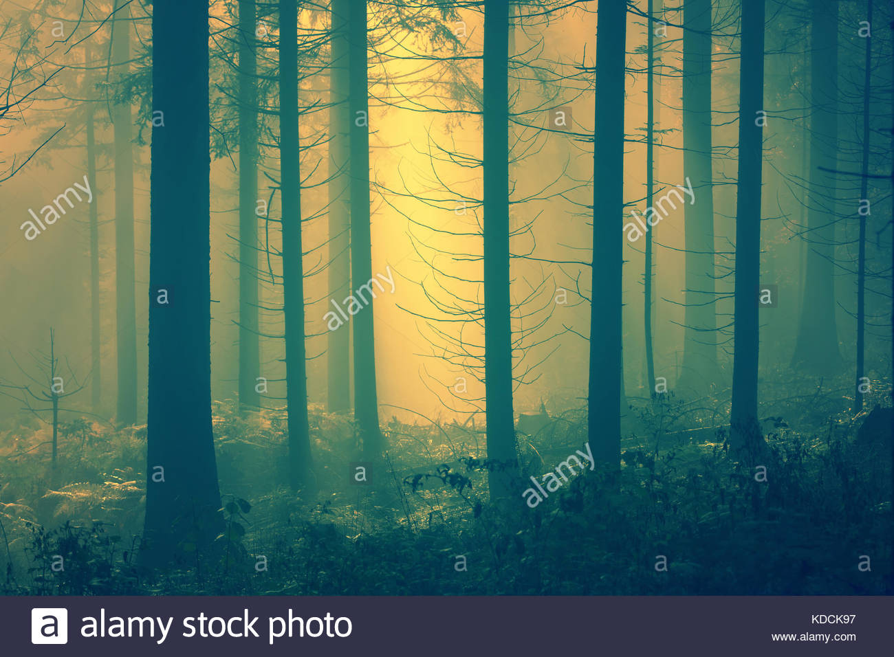 Mysterious yellow light in the foggy conifer forest. - Stock Image