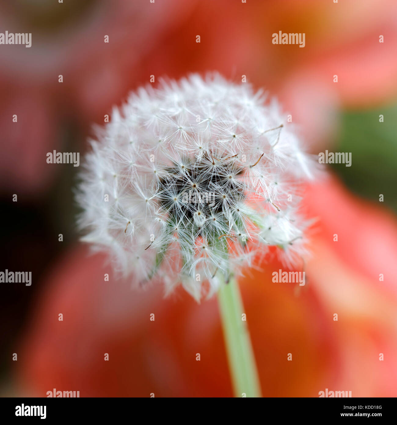 Close-up of Dandelion Seeds Stock Photo