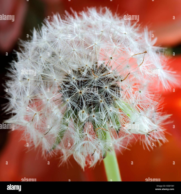 Close-up of Dandelion Seeds - Stock Image