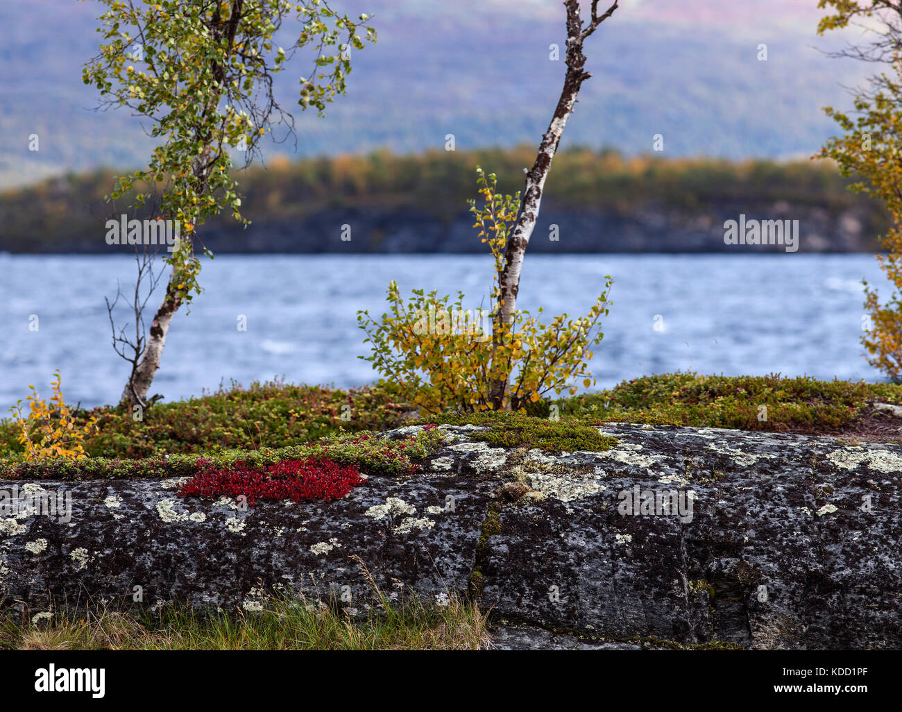Alpine bearberry, mountain bearberry on a cliff this side a lake. Mountain in the background, autumn. Stock Photo