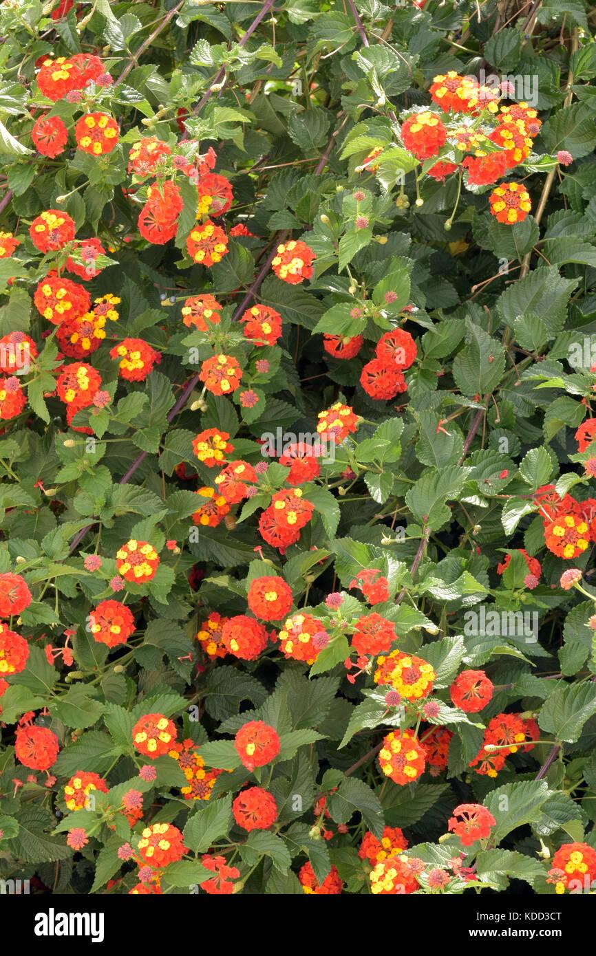 Lantana camara shrub, clusters of yellow / orange flowers, green leaves Mountain sage big-sage, wild-sage, red-sage, Stock Photo