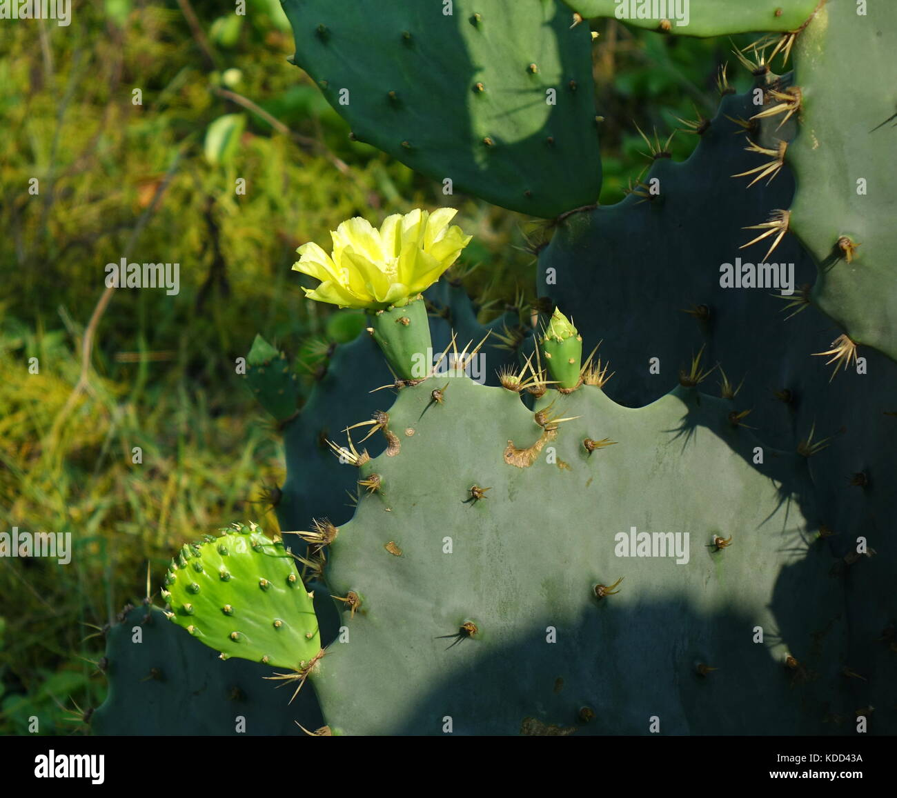 A yellow flower blossoming on a prickly pear cactus, Opuntia Robusta Stock Photo