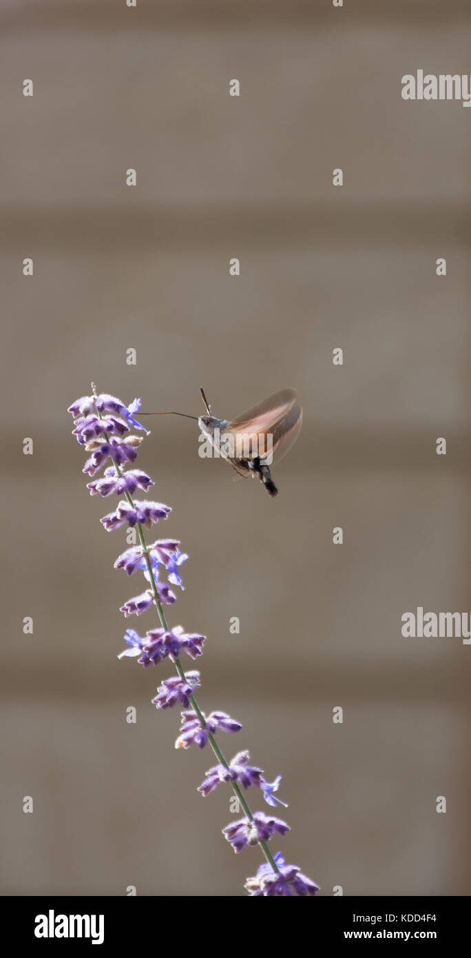 Hummingbird Moth sucking nectar from a lavender blossom with its long proboscis - Stock Image