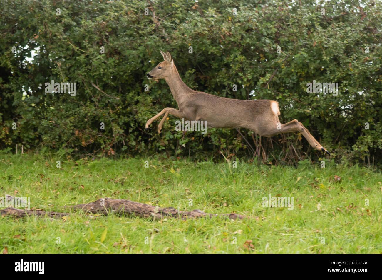 Roe deer (Capreolus capreolus) doe leaping. Small elegant deer in family Cervidae, showing white rump in the air - Stock Image