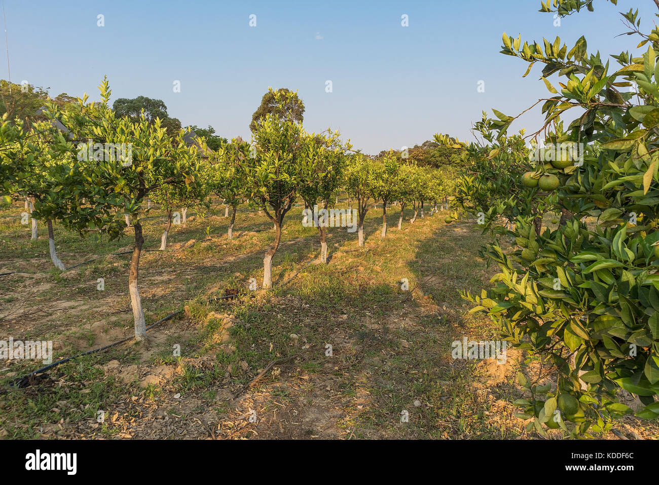 Plantation of orange trees in the green state. Angola. Africa - Stock Image