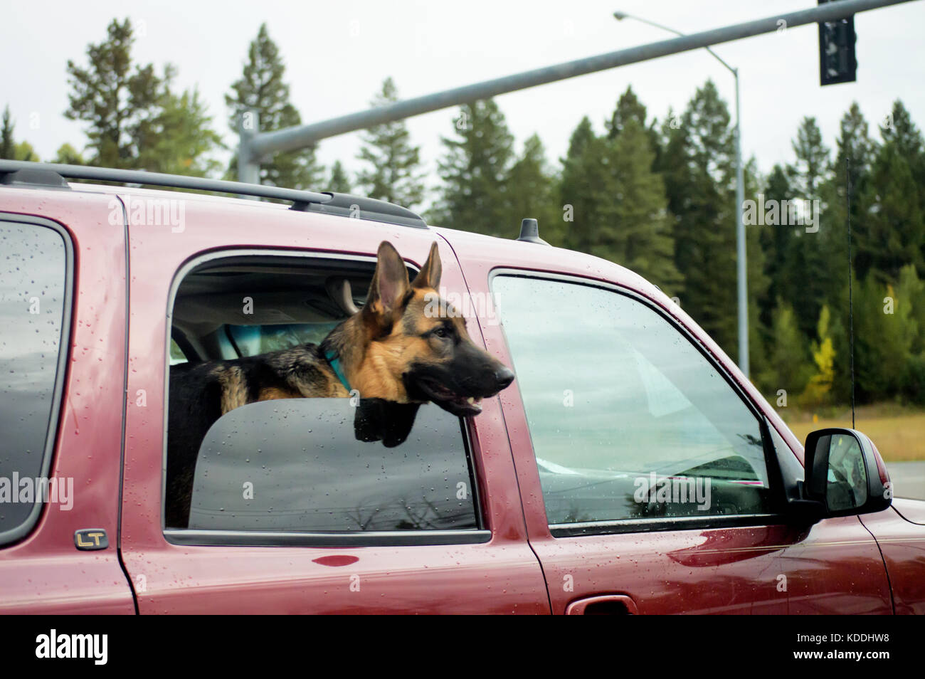 A German Sheppard poking his head out of a car window. - Stock Image