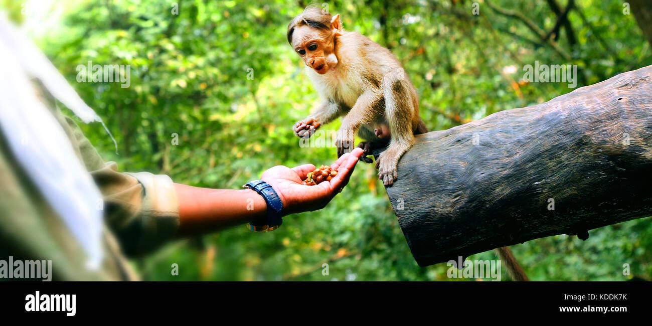 Man feeding a small monkey Stock Photo