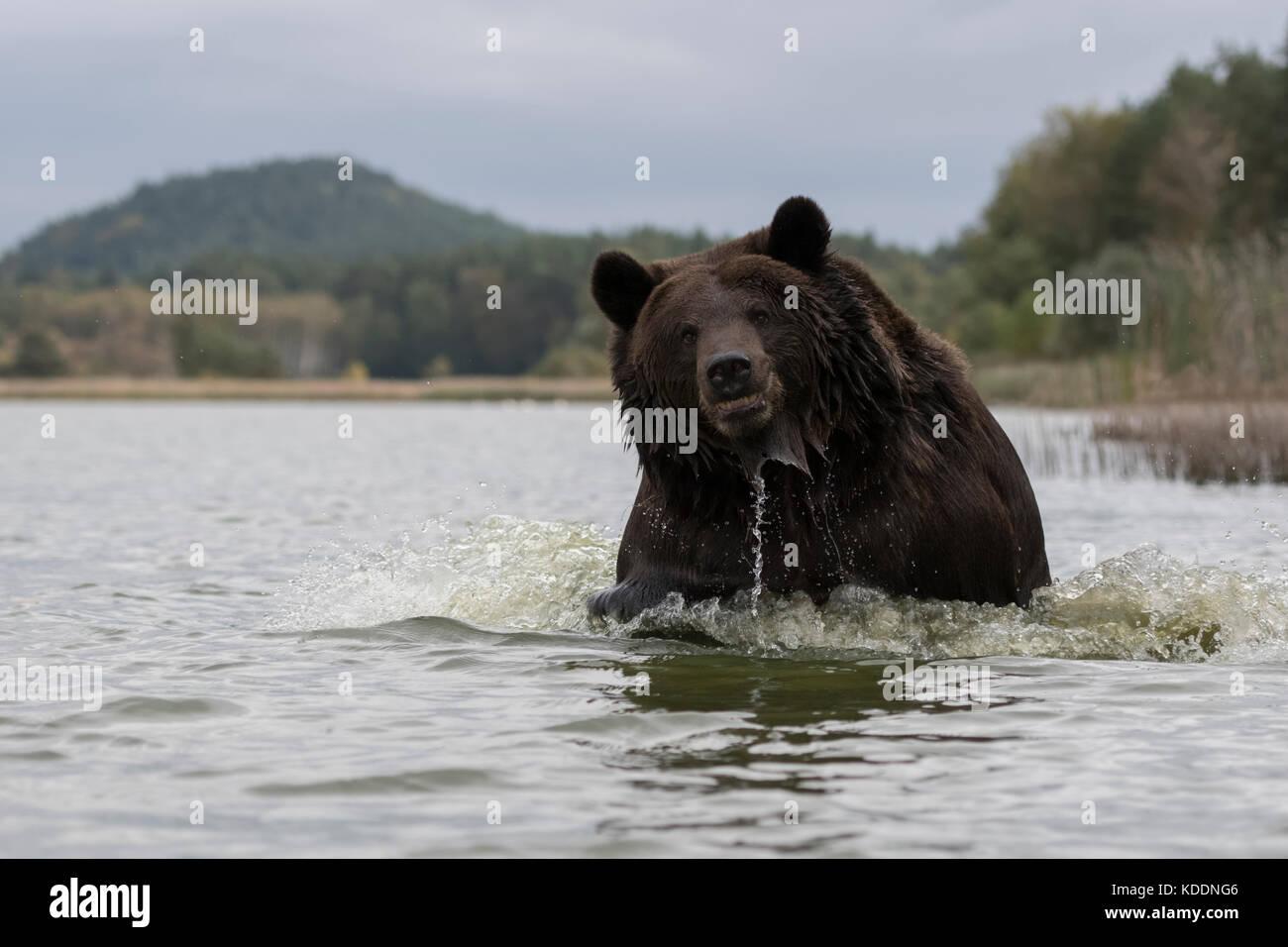 European Brown Bear / Europaeischer Braunbaer ( Ursus arctos ), powerful adult, running through water, seems to - Stock Image