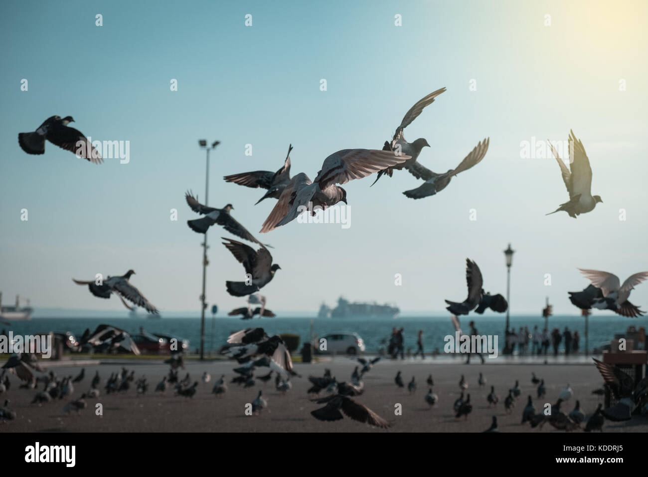 Flock of pigeons coming down on seaside park - Stock Image