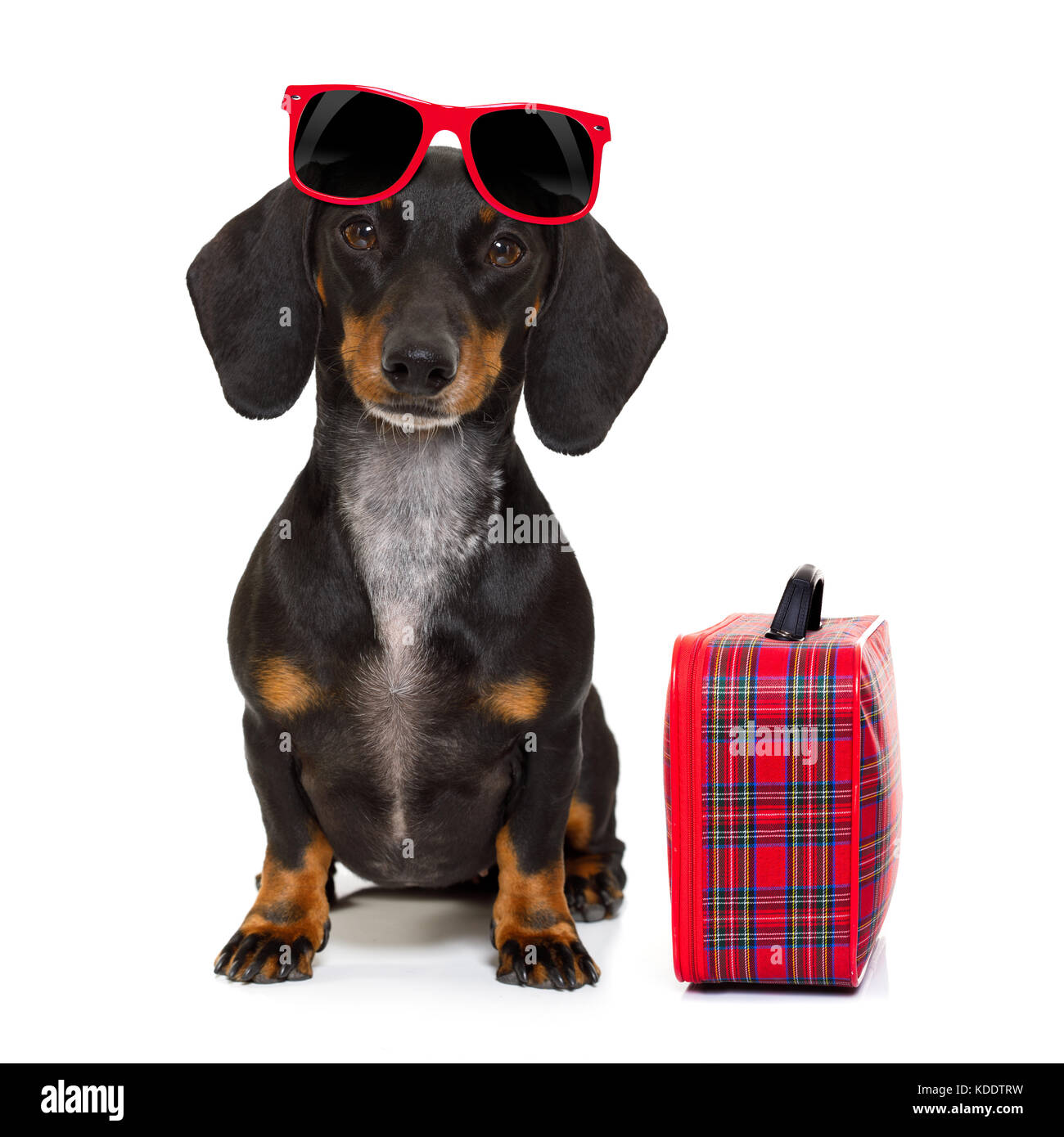 dachshund or sausage  dog on summer vacation holidays with sunglasses and bag or luggage , isolated on white background - Stock Image