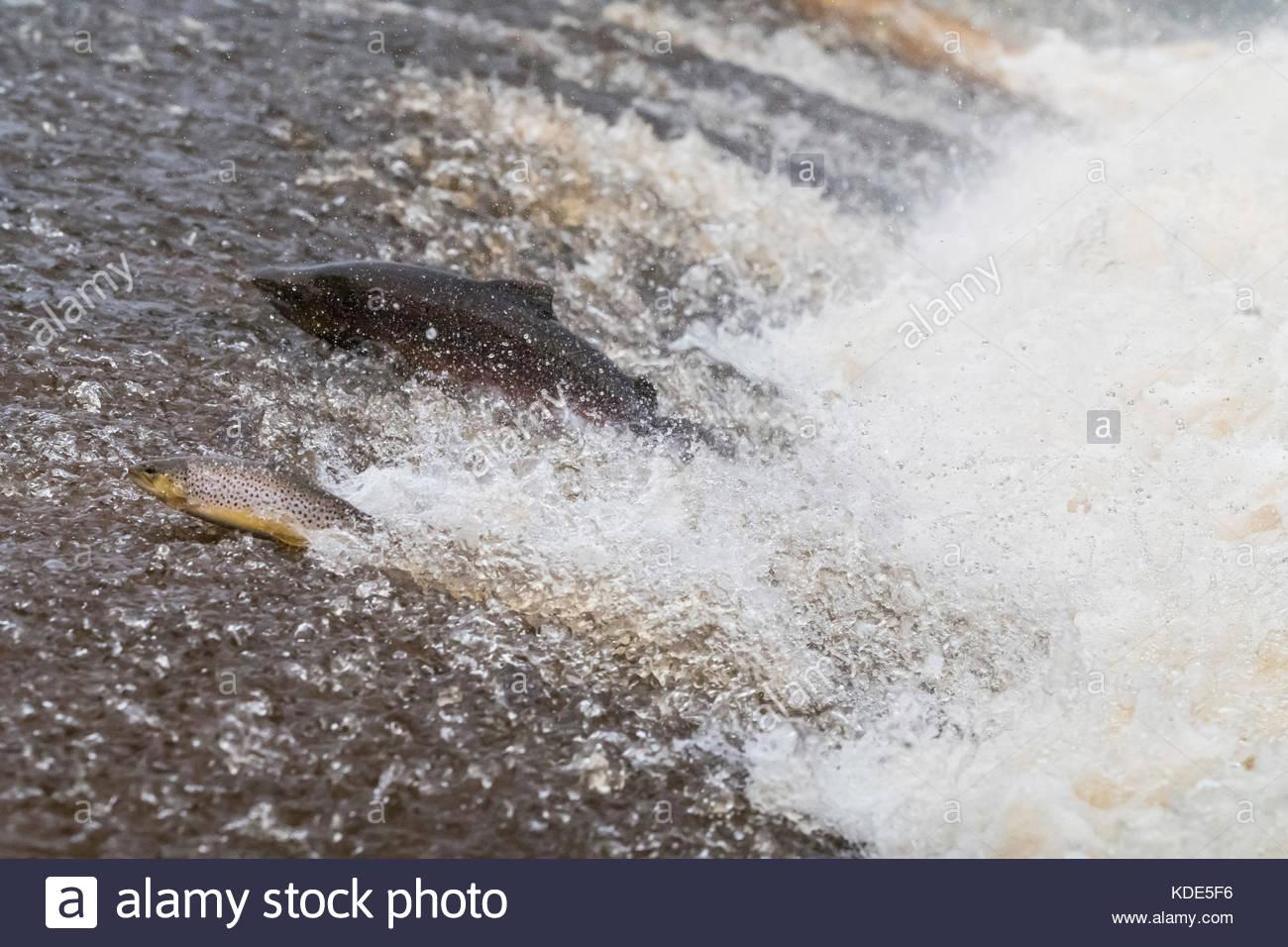 Selkirk, Scottish Borders, UK. 13th Oct, 2017. An Atlantic Salmon (Salmo salar) and Brown Trout )Salmo trutta) leap - Stock Image
