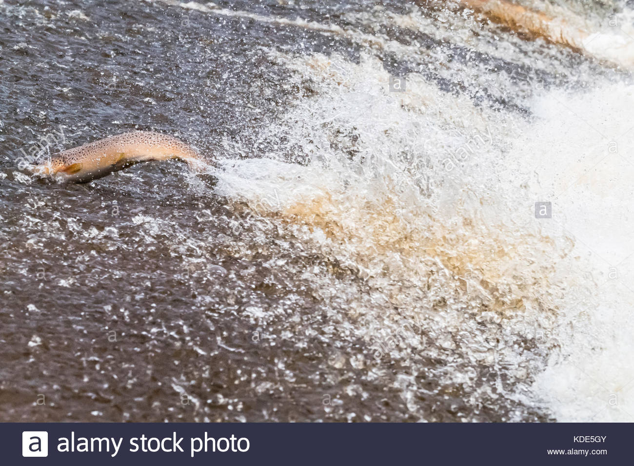 Selkirk, Scottish Borders, UK. 13th Oct, 2017. A Brown Trout leaps upstream over a cauld on the Etrick Water. A - Stock Image
