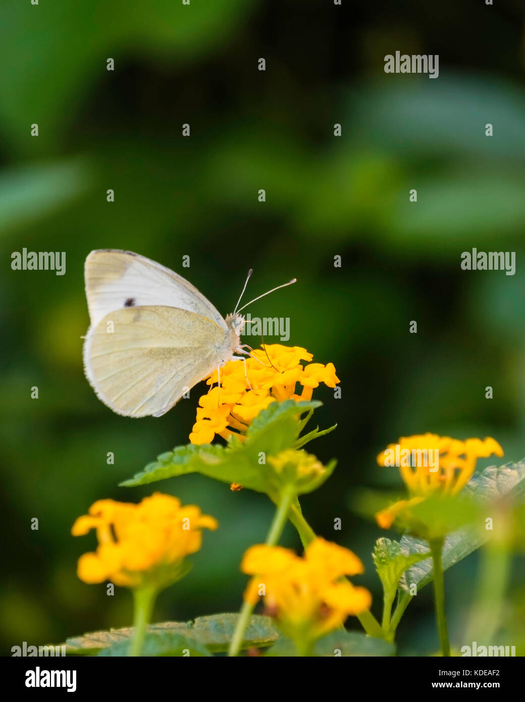 Cabbage White Butterfly, Pierus brassicae, feeding on yellow Lantana camara in a garden in Oklahoma, USA. - Stock Image