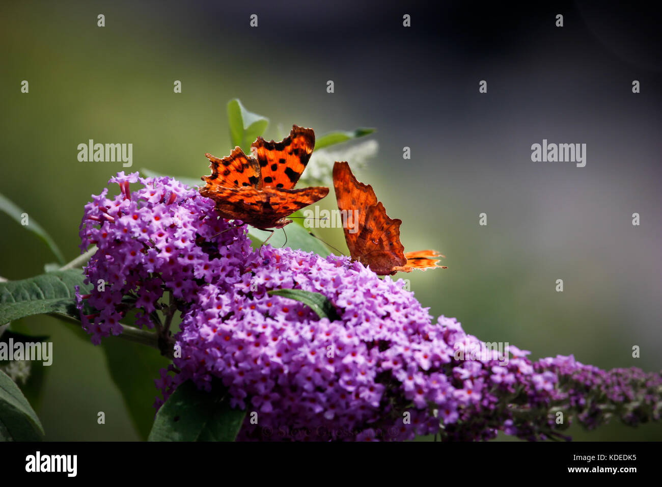 Butterfly feeding on nectar - Stock Image