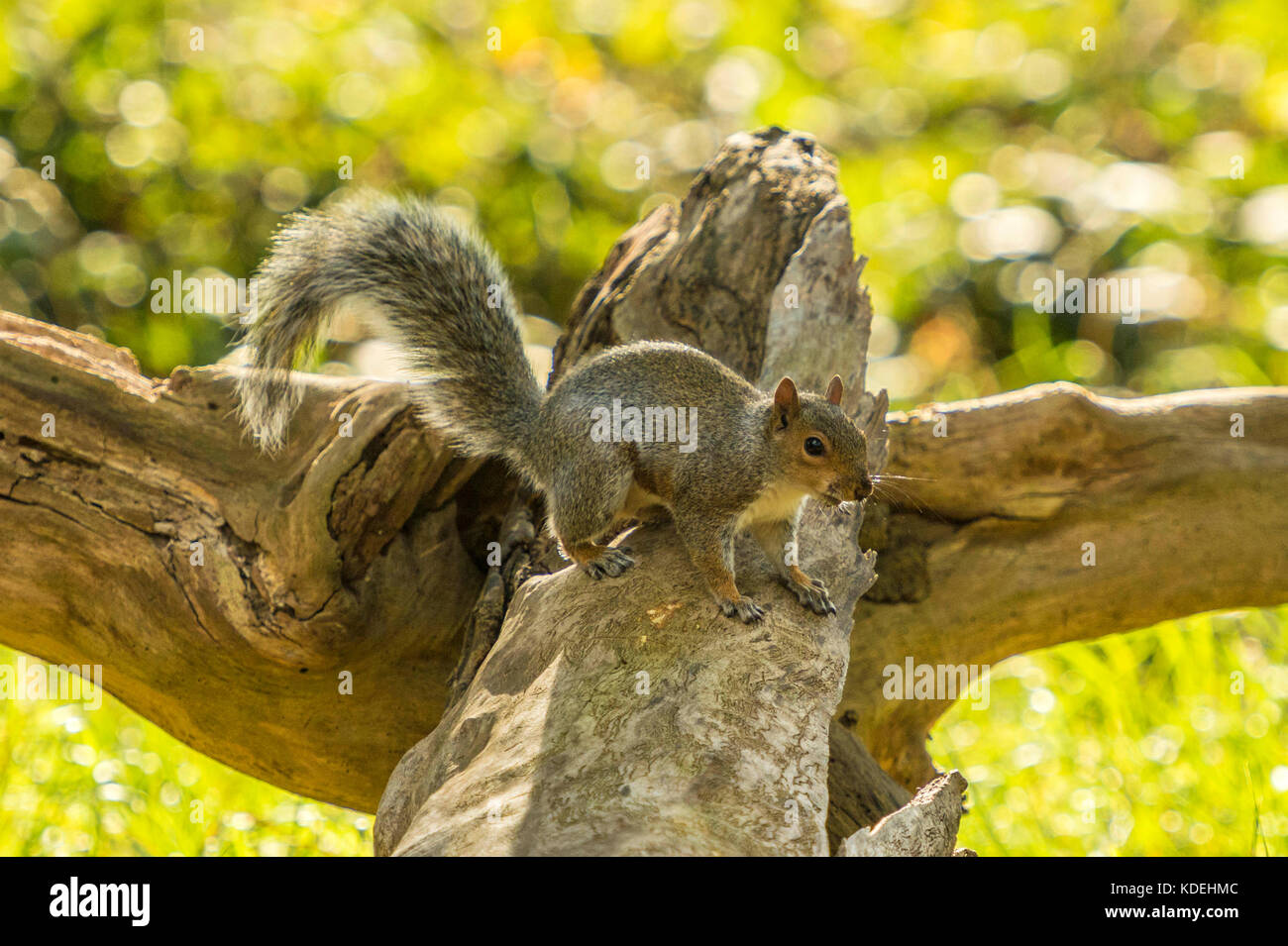 British Wildlife in Natural Habitat. Single Gray Squirrel foraging in ancient woodlands on bright autumn day. - Stock Image