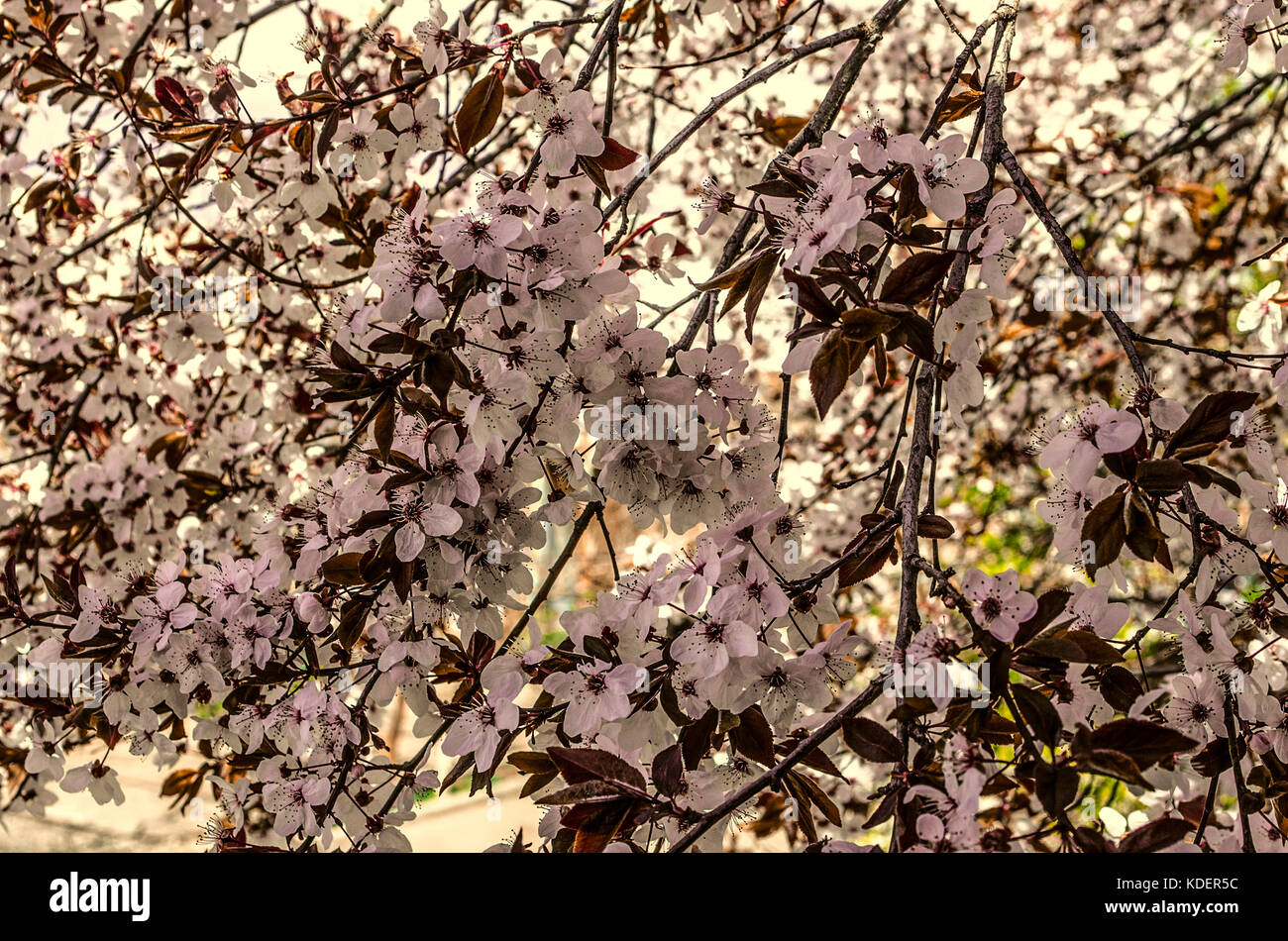 Flowering Branches Of A Plum Tree With Burgundy Leaves Stock Photo